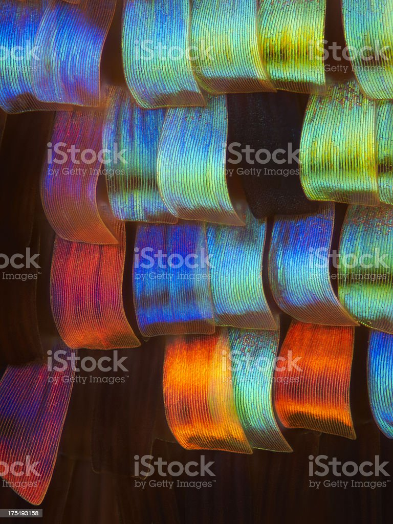 Sunset Moth wing scales stock photo
