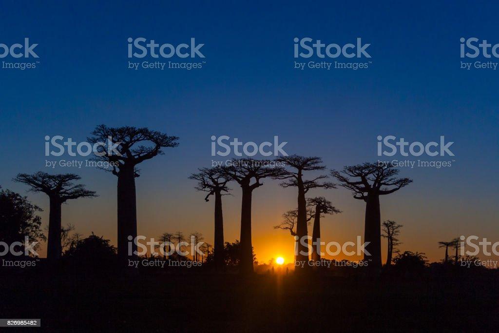 Solnedgång på baobab träd bildbanksfoto