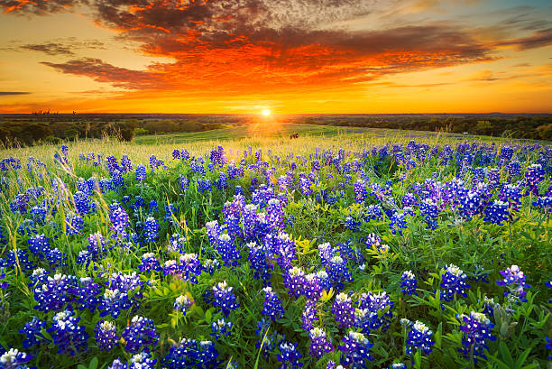 Sunset on Sugar Ridge Road, Ennis, TX Texas pasture filled with bluebonnets at sunset wildflower stock pictures, royalty-free photos & images