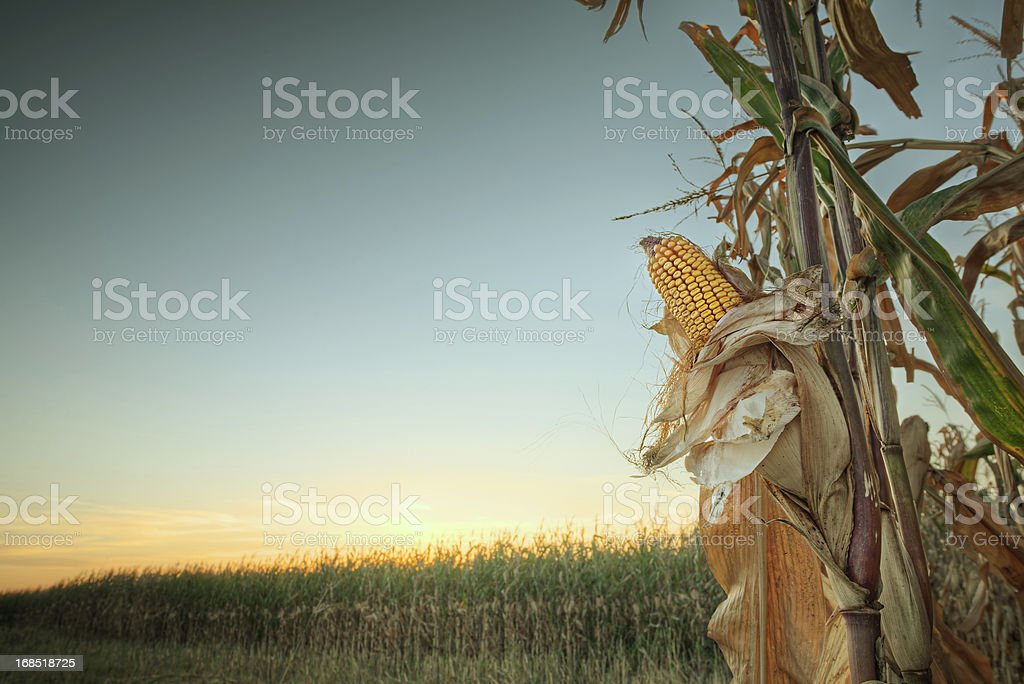 Sunset on the corn field royalty-free stock photo