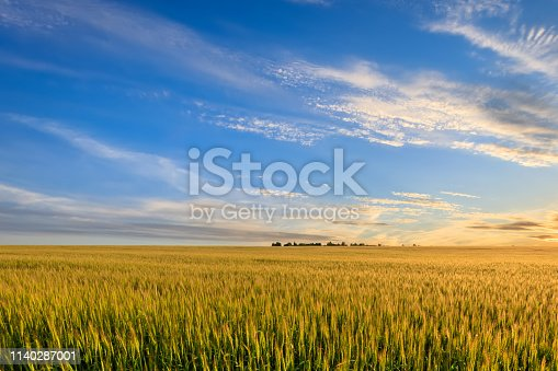 Sunset or sunrise on the field with young rye or wheat in the summer with a cloudy sky background. Landscape.