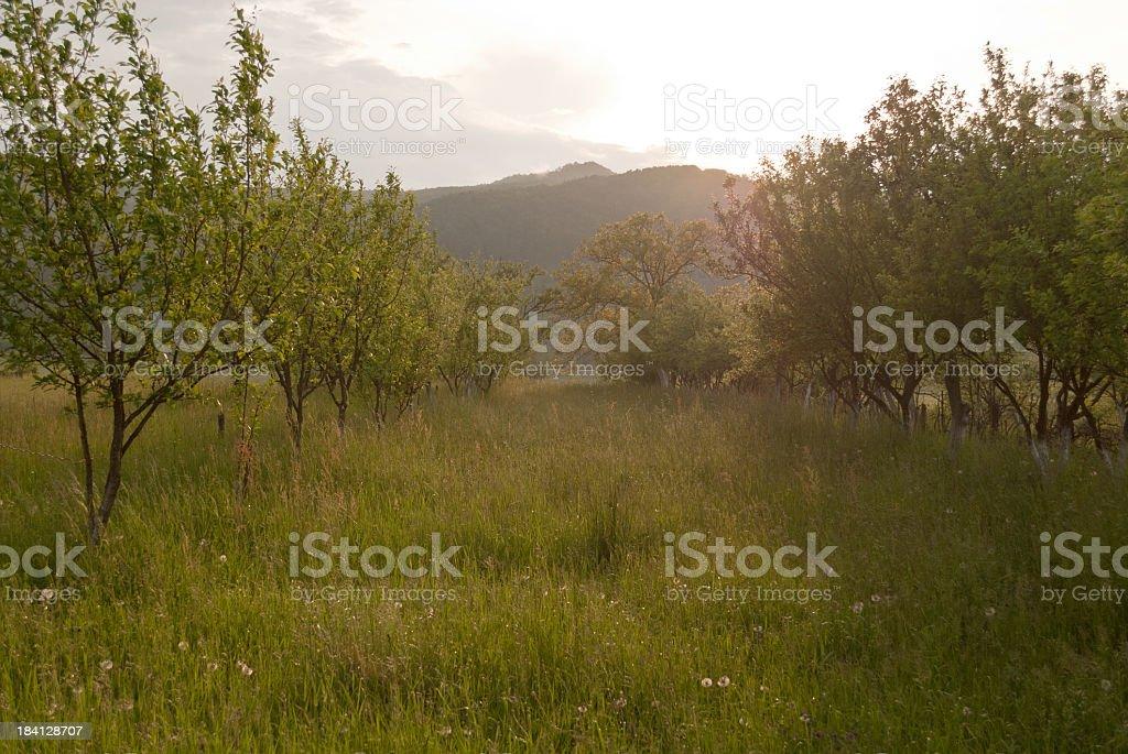 Sunset orchard stock photo