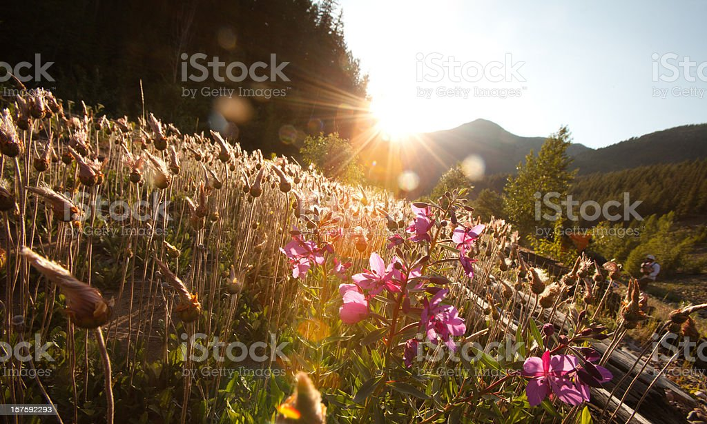 Sunset over a field of wild flowers stock photo