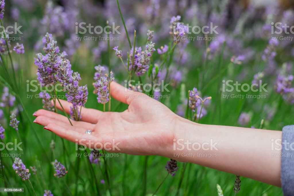 Sunset over a summer lavender field . Grls hand touching the flowers of lavanda