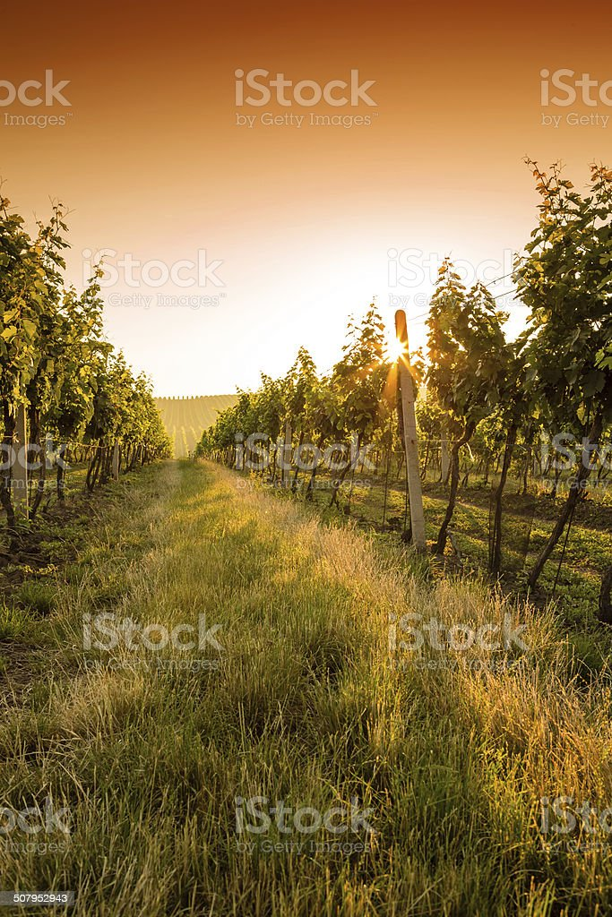 Sunset over a vineyard stock photo