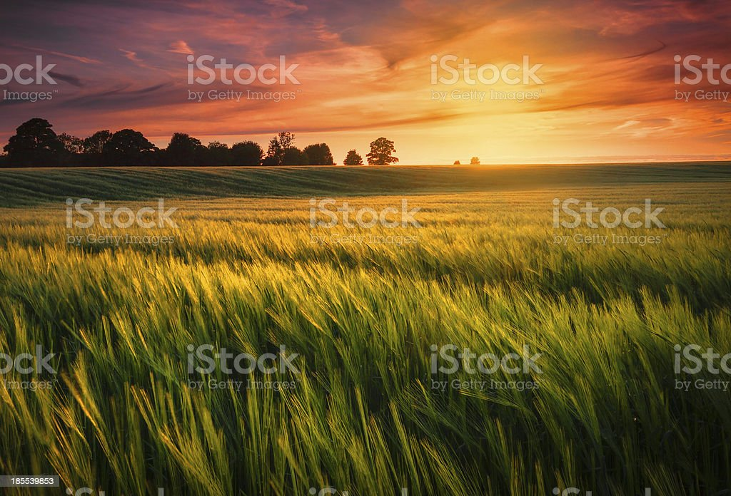 Sunset over a wheat field royalty-free stock photo