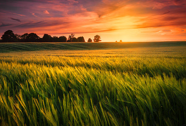 Sunset over a wheat field The sun sets over a green and gold, flowing crop of wheat or barley on a farm on a hill in England. The thin clouds are illuminated by the sun in red, orange, gold. wheat stock pictures, royalty-free photos & images
