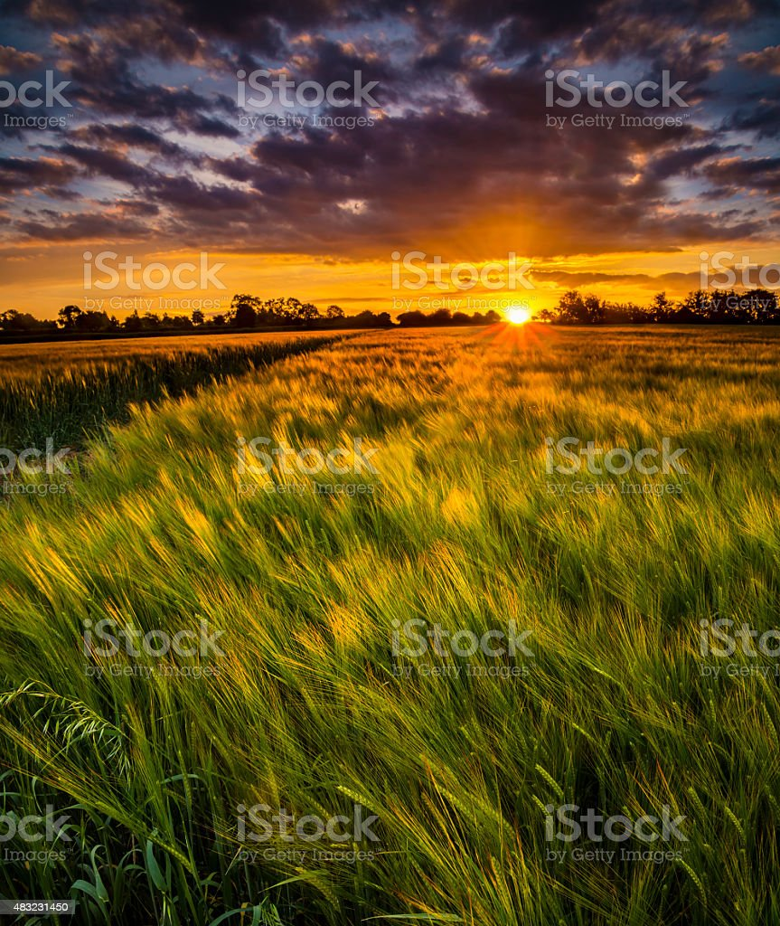 Sunset over a wheat field stock photo