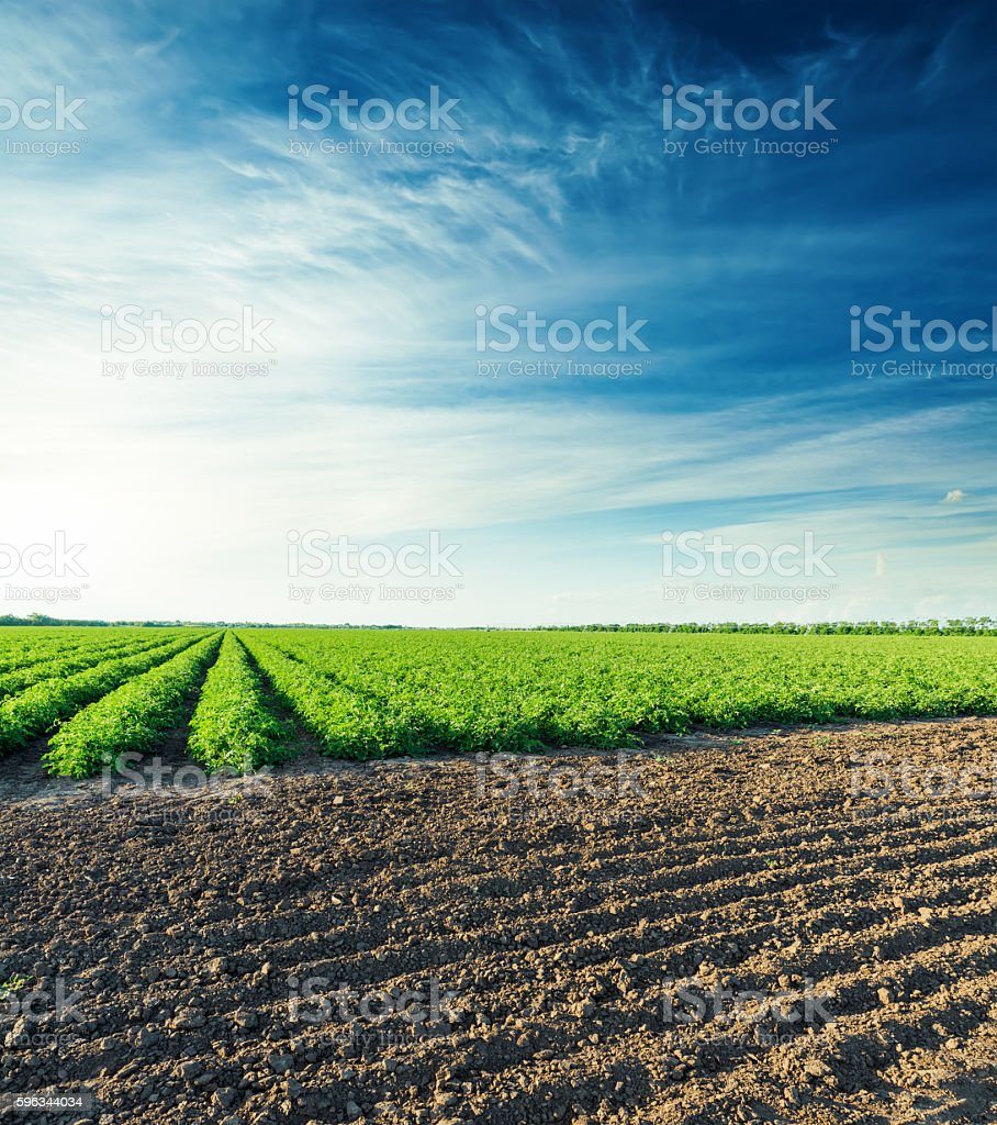 sunset over agricultural field with green bush of tomatoes Lizenzfreies stock-foto
