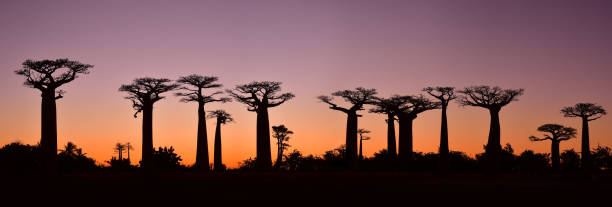Sunset over Alley of the baobabs, Madagascar stock photo