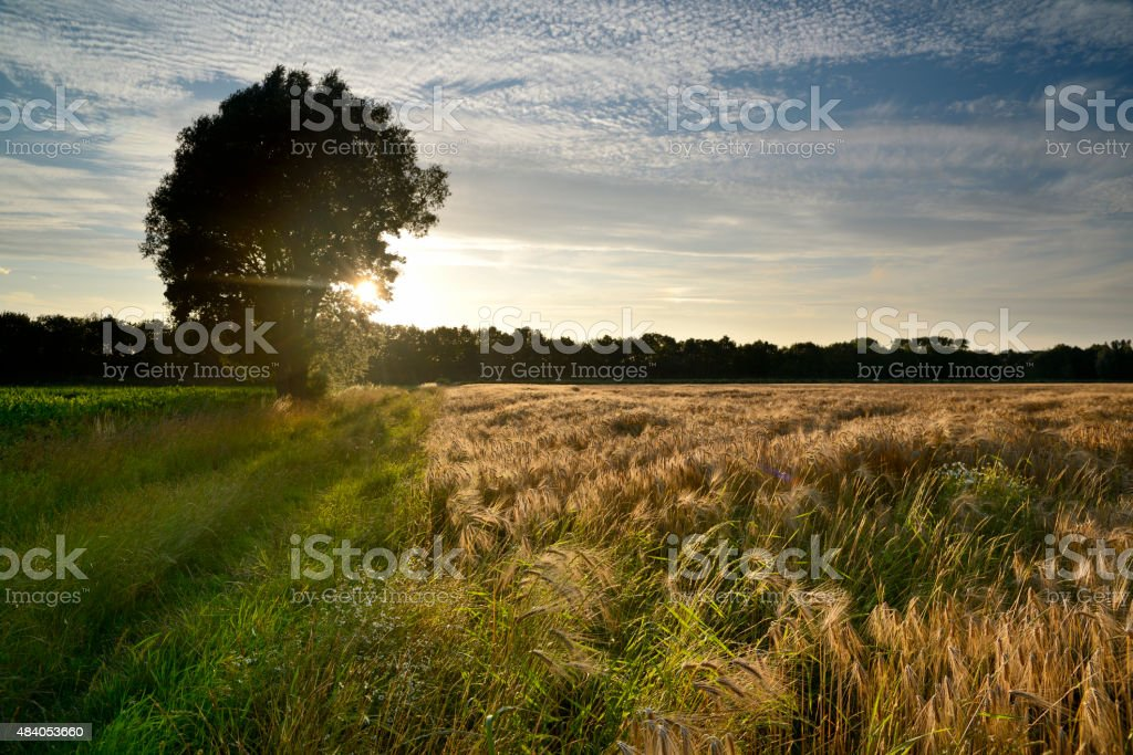Sunset over barley field with common ash tree stock photo