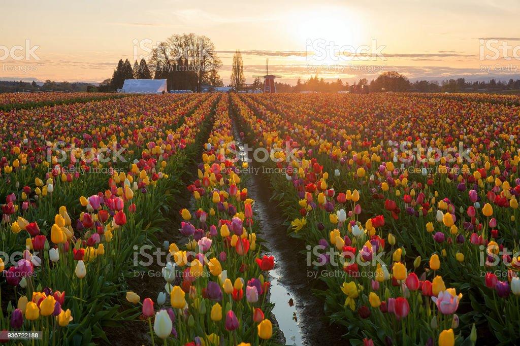 Sonnenuntergang über farbenfrohe Tulpenfelder Blume im Frühling Saison Tulpenfest in Woodburn OR – Foto