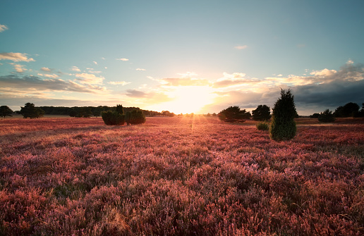sunset over flowering heather meadows