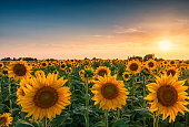 Huge sunflower field and beautiful colorful sunset sky above them