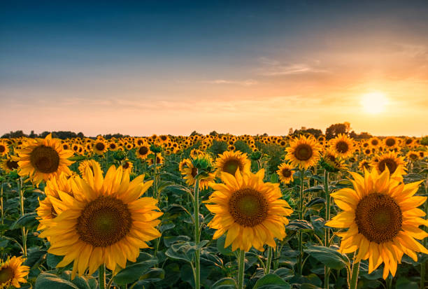 Sunset over huge sunflower field Huge sunflower field and beautiful colorful sunset sky above them flower part stock pictures, royalty-free photos & images