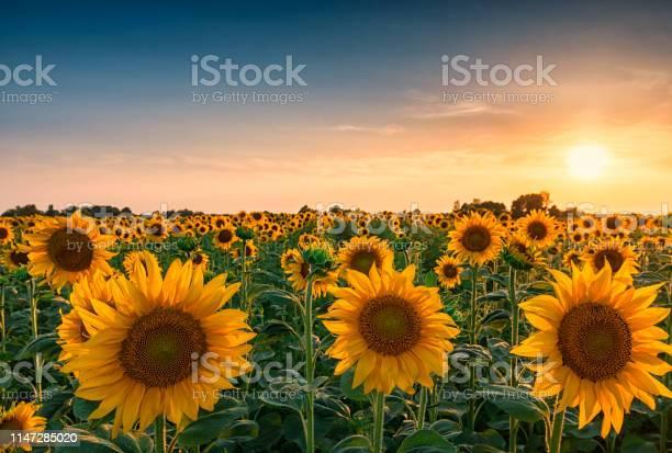 Photo of Sunset over huge sunflower field