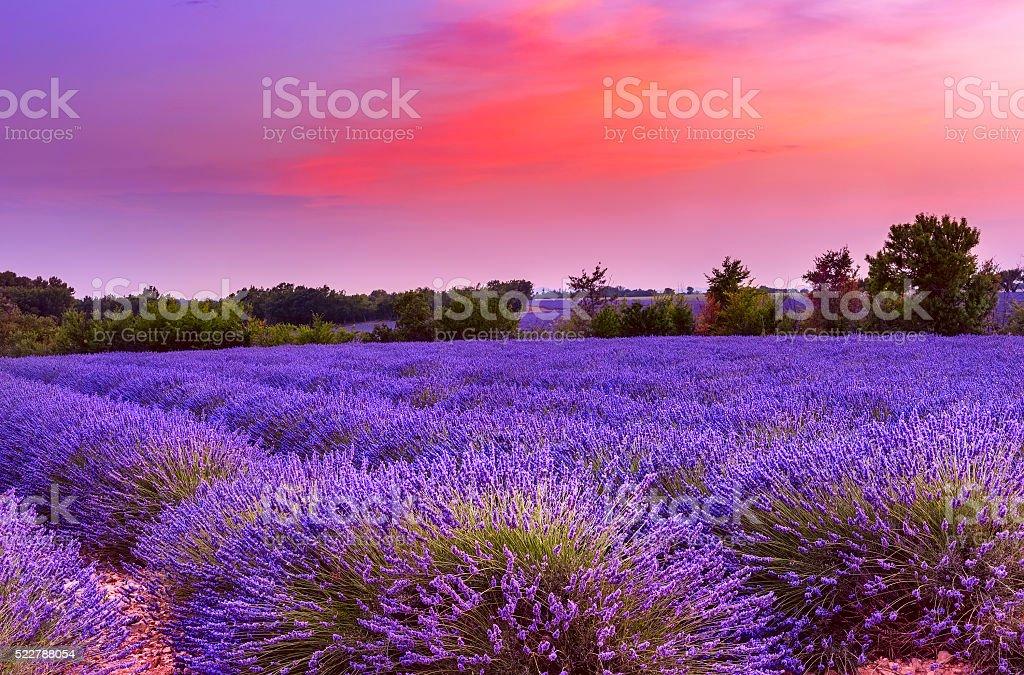 Sonnenuntergang über – Lavendelfeld in der Provence – Foto