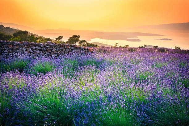 Sunset over Lavender field - Landscape stock photo