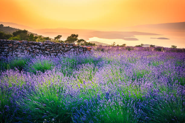 Sunset over Lavender field - Landscape stock photo