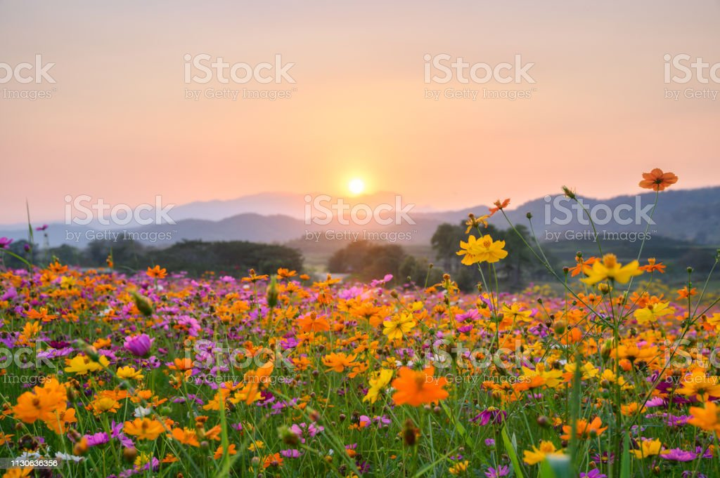 Sunset over mountain with cosmos blooming - Royalty-free Agricultura Foto de stock