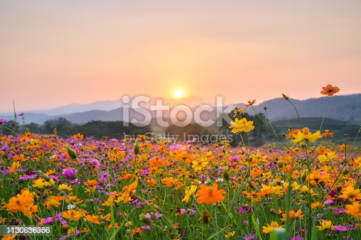 Sunset over mountain with colorful cosmos fields