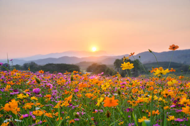 Sunset over mountain with cosmos blooming Sunset over mountain with colorful cosmos fields springtime stock pictures, royalty-free photos & images