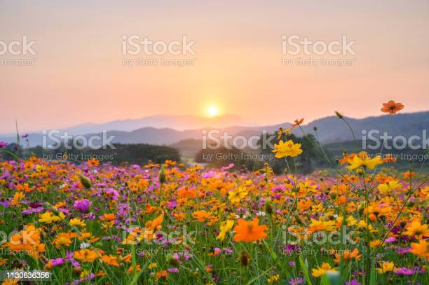 Photo of Sunset over mountain with cosmos blooming