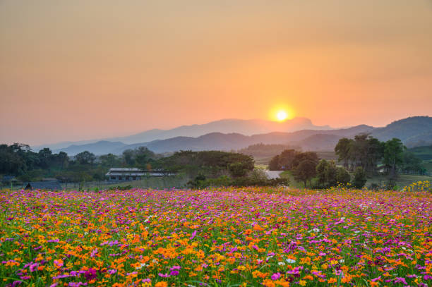 Sunset over mountain with cosmos blooming stock photo