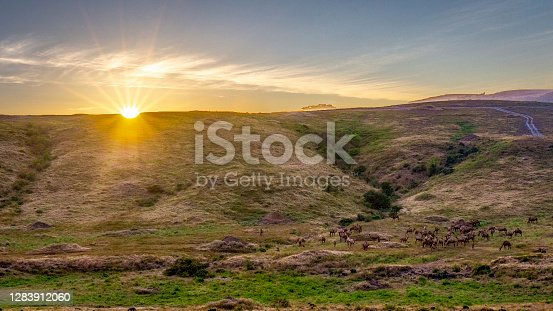 Camels on hill during sunset