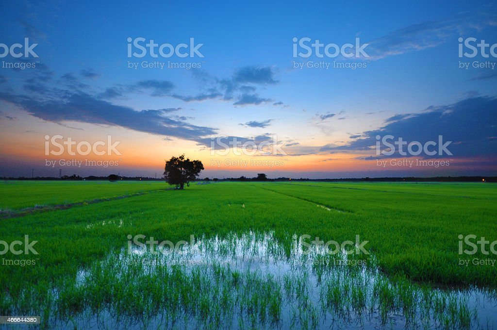 Sunset Over Paddy Field stock photo