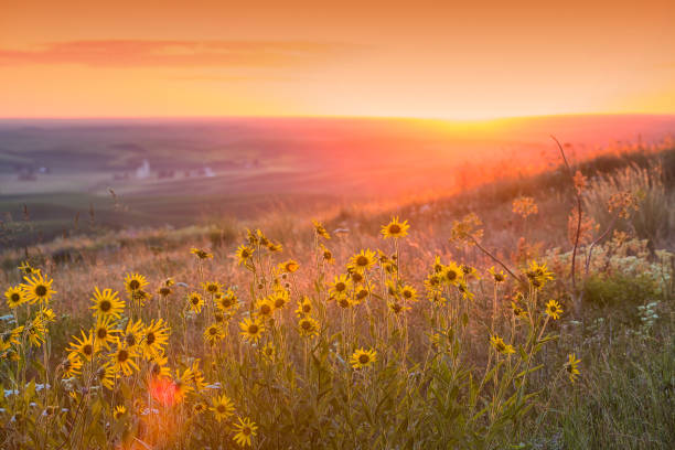 Sunset over Palouse Balsam Root stock photo