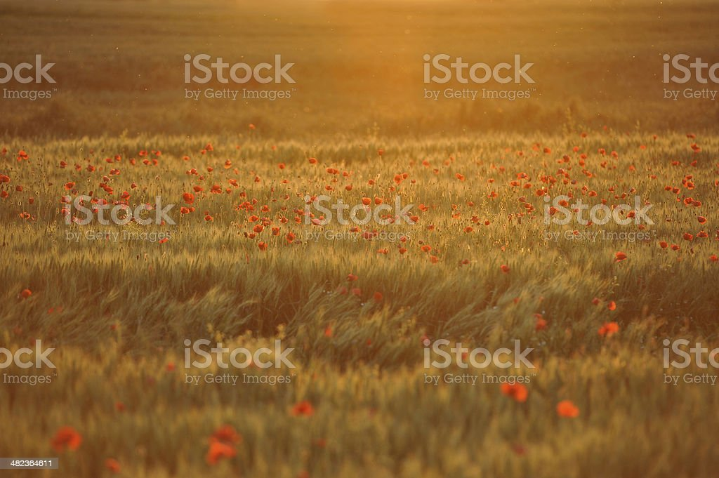 sunset over poppy field royalty-free stock photo
