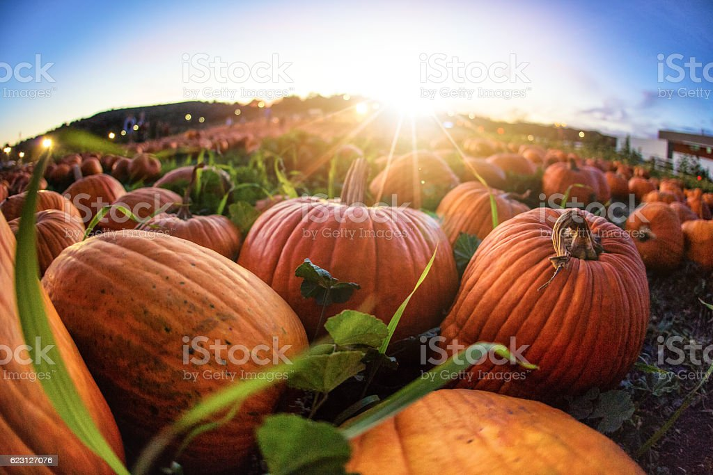 Sunset Over Pumpkin Patch stock photo