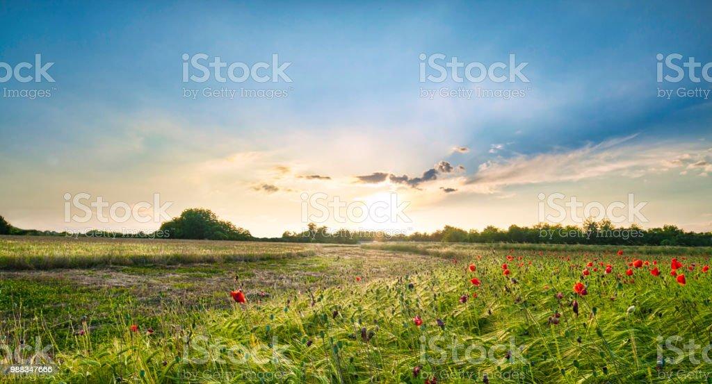 Sonnenuntergang über rote Mohnblumen in der italienischen Landschaft - Lizenzfrei Baumblüte Stock-Foto