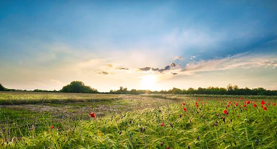 Sonnenuntergang Über Rote Mohnblumen In Der Italienischen Landschaft Stockfoto und mehr Bilder von Baumblüte