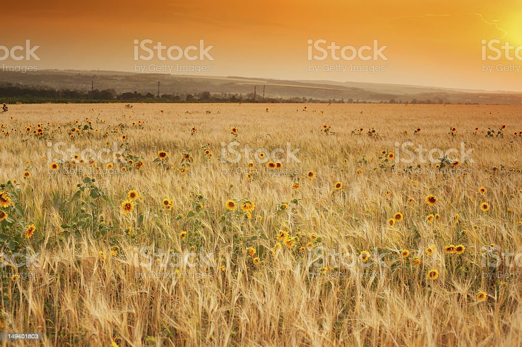 Sunset Over ripe wheat field royalty-free stock photo