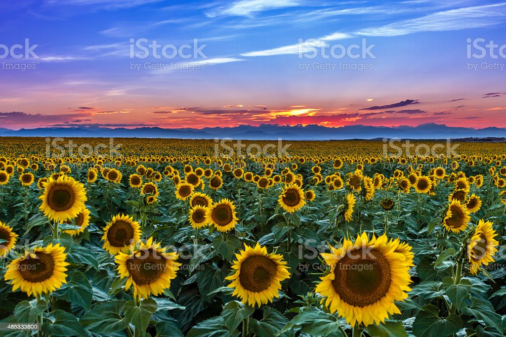Sunset Over Sunflower Fields of Colorado stock photo