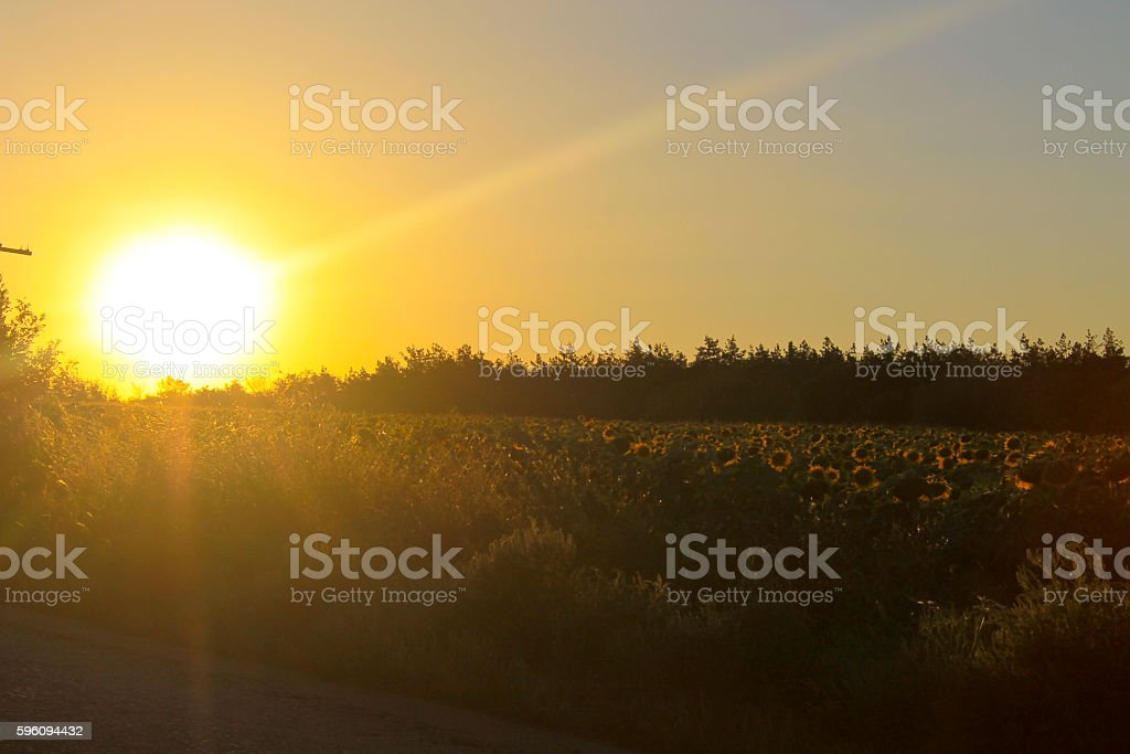 Sunset over sunflowers field royalty-free stock photo