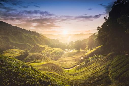 istock Sunset over tea plantation in Malaysia 181850149