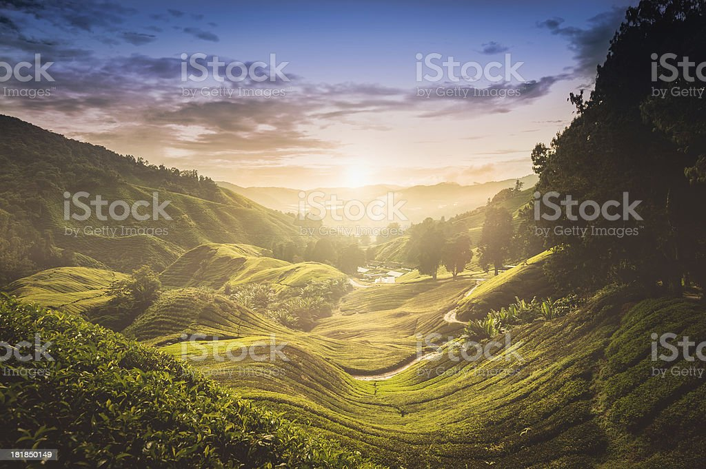 Sunset over tea plantation in Malaysia stock photo