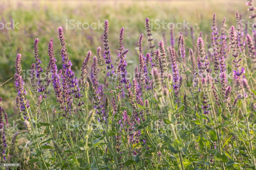 Sunset over the field of clary sage stock photo