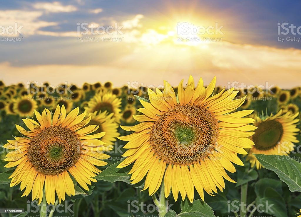 Sunset over the field of sunflowers royalty-free stock photo