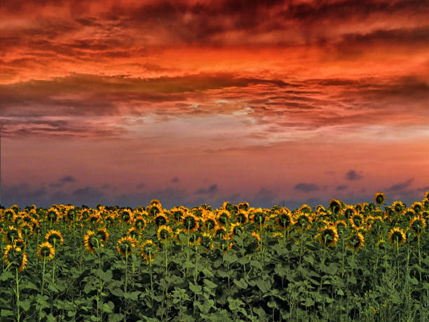 Sunset over the field Sunflowers stock photo