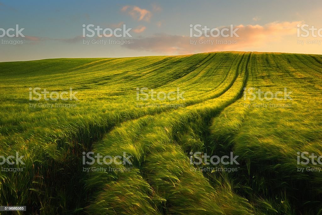 Sunset over the wheat fields stock photo