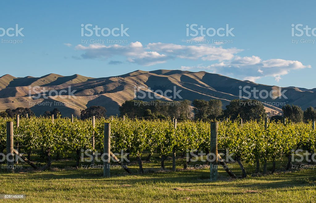 sunset over vineyard in New Zealand stock photo