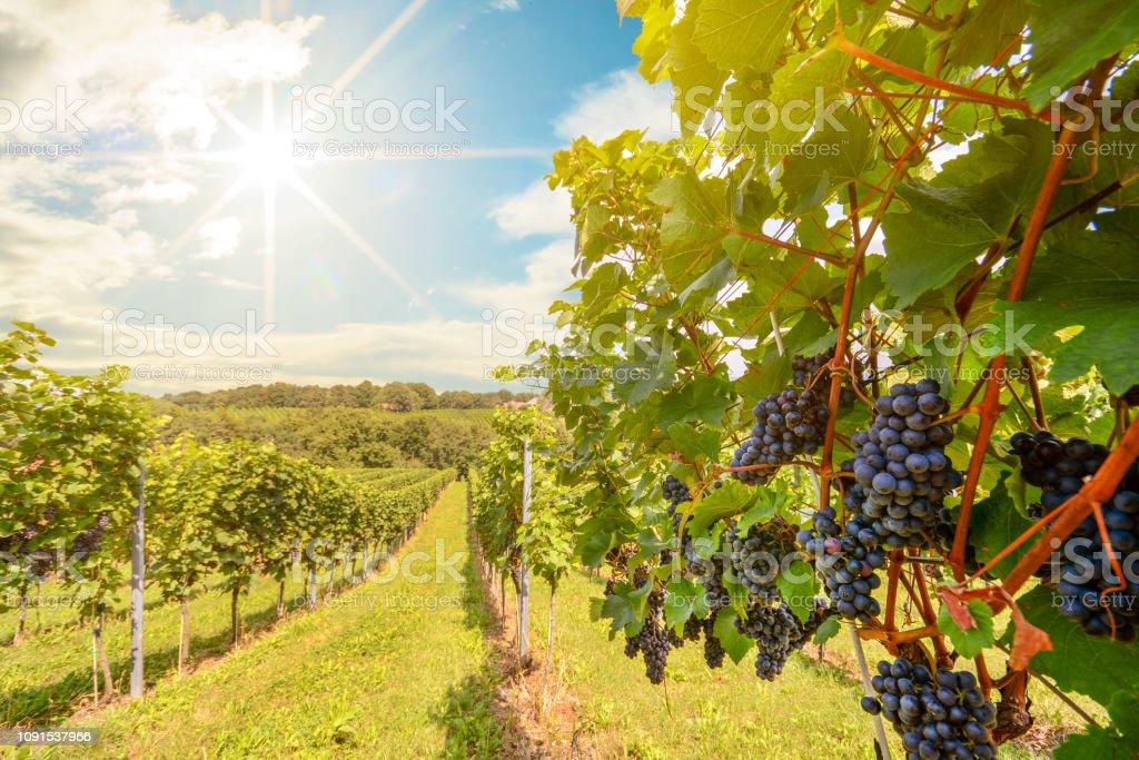Sonnenuntergang über Weinberge mit Rotweintrauben im Spätsommer – Foto