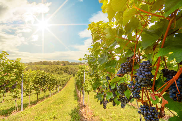 ID: sun shining in blue sky over vineyards with red wine grapes in late summer