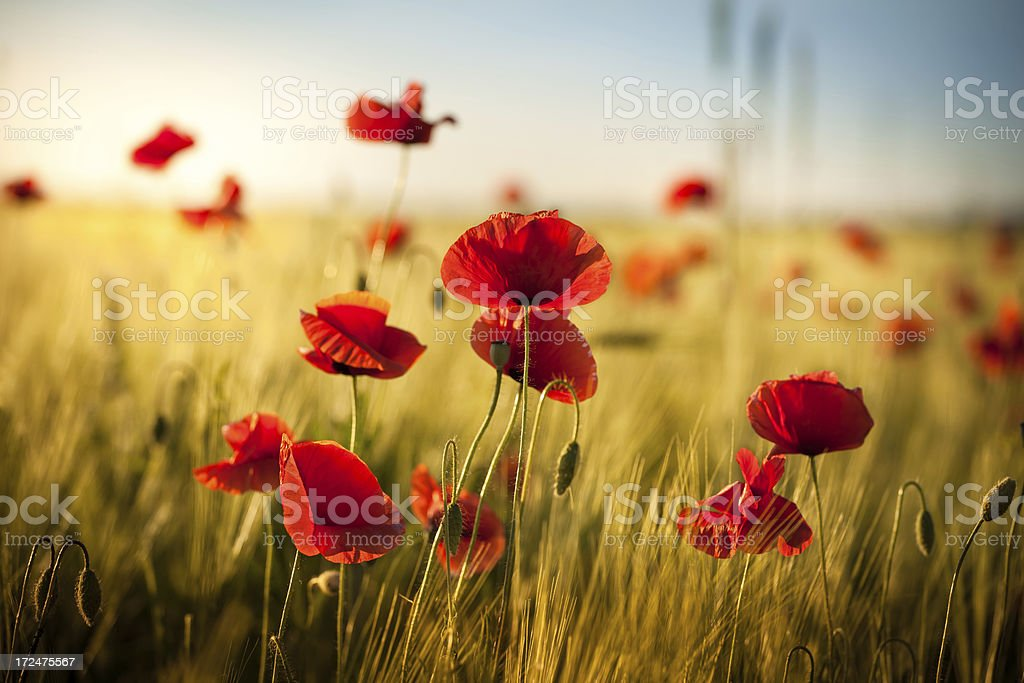 Sunset over Wheat Field and Red Poppies - Spring Meadow - Royalty-free Agricultural Field Stock Photo