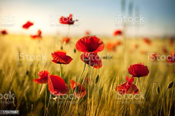 Sunset Over Wheat Field And Red Poppies Spring Meadow Stock Photo - Download Image Now