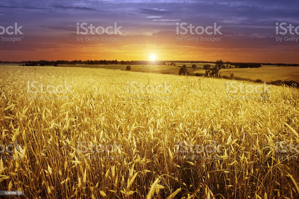 Sunset over wheat field. stock photo